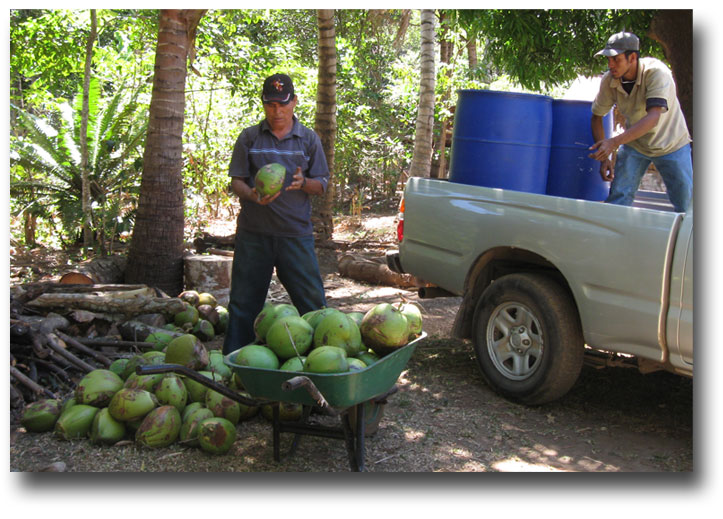 Picking-coconuts