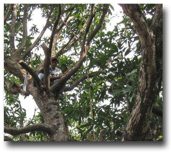 Evers-in-mango-tree