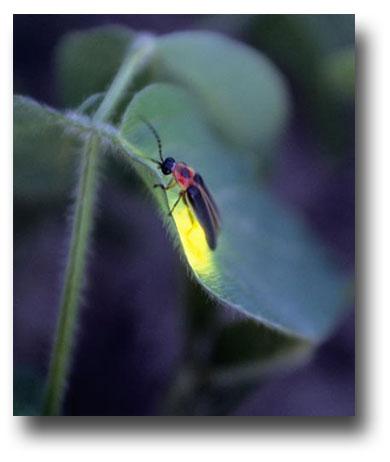 Firefly-Gail-Shumway