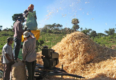 Corn-threshing-2