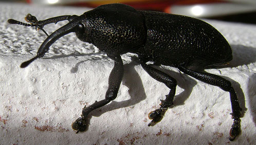 Broca-beetle