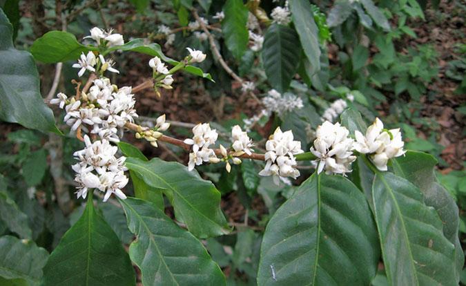 Coffee-flowers